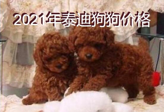 2021年泰迪狗狗价格