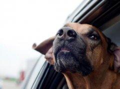 注意:宠物狗坐副驾罚款