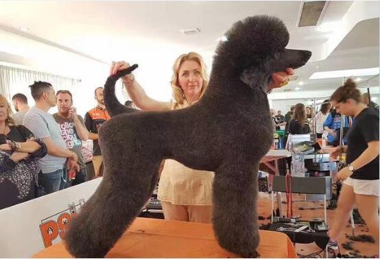 法国贵宾犬图1