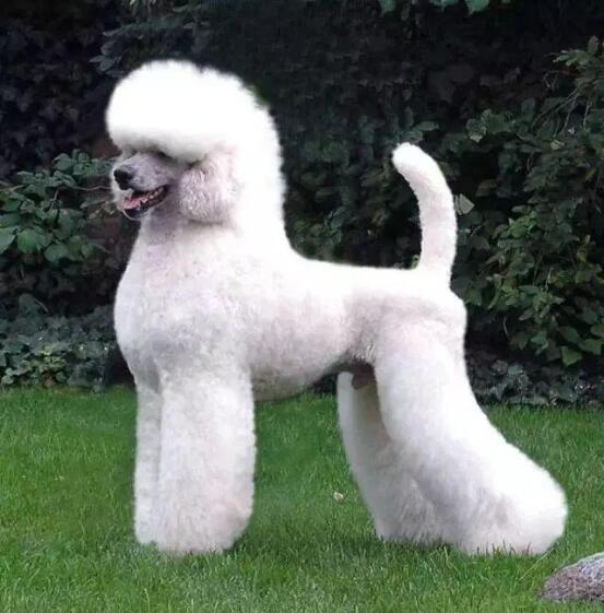 法国贵宾犬图2