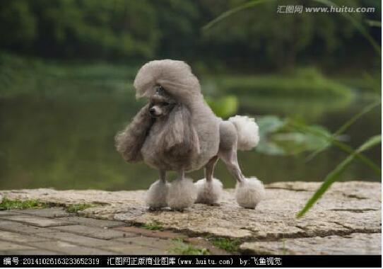 贵宾犬的图片10