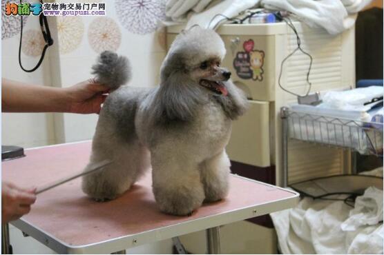 贵宾犬的图片11