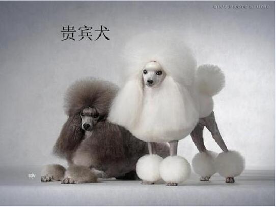 贵宾犬的图片12