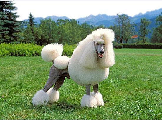 贵宾犬的图片1