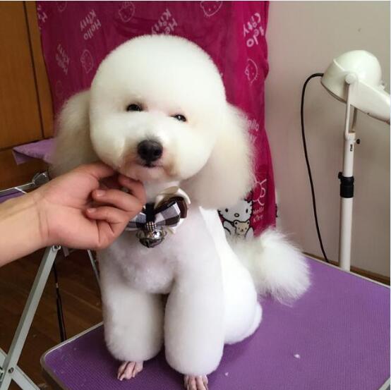 贵宾犬的图片2