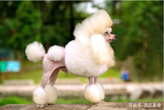 贵宾犬的图片7