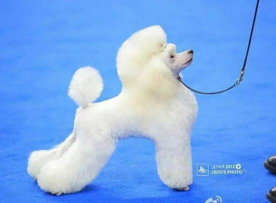 贵宾犬的图片8