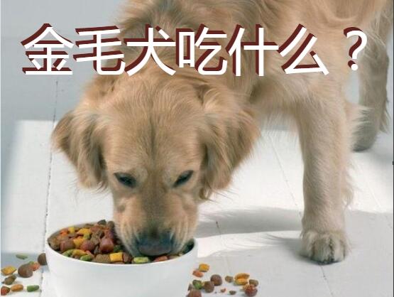 金毛犬吃什么图1