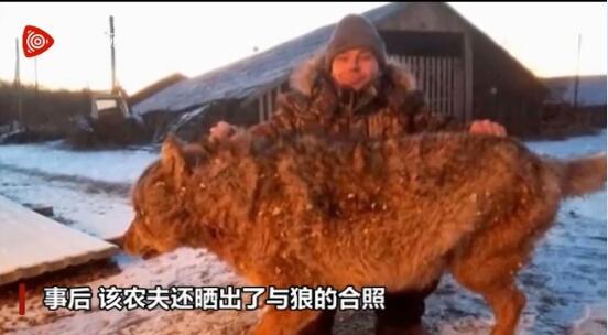 俄罗斯一农夫两只狗和牛遭狼袭击!徒手将恶狼勒死!