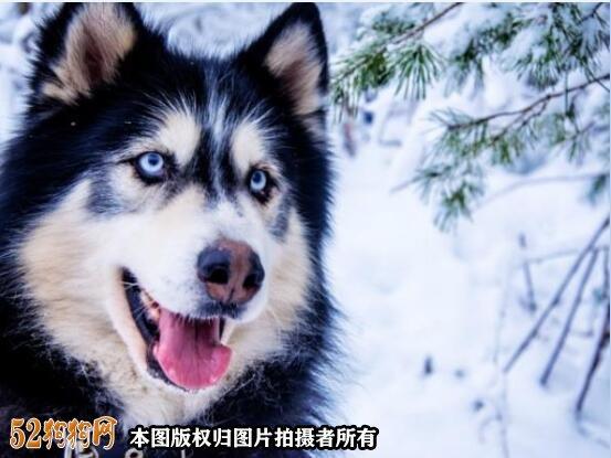 阿拉斯加狗图片2
