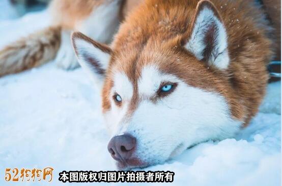 阿拉斯加狗图片3