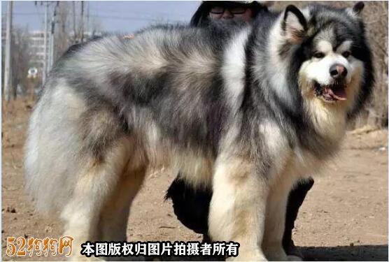 阿拉斯加狗图片4