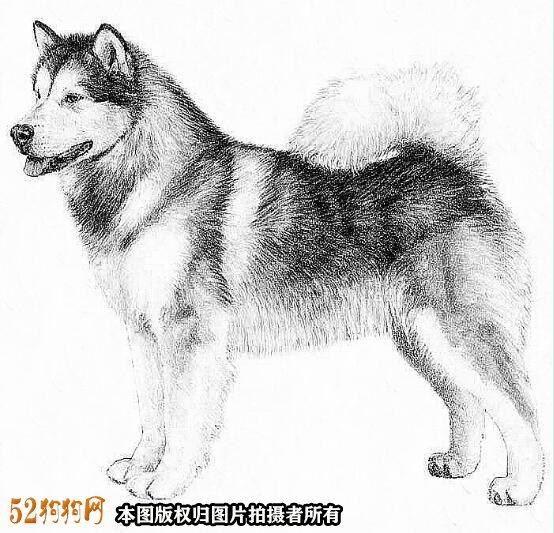 阿拉斯加狗图片5