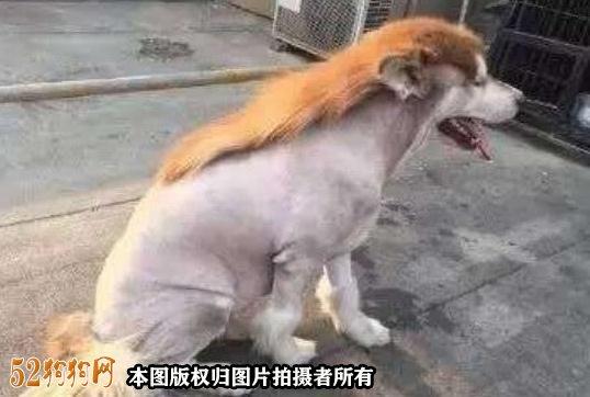 阿拉斯加狗图片6