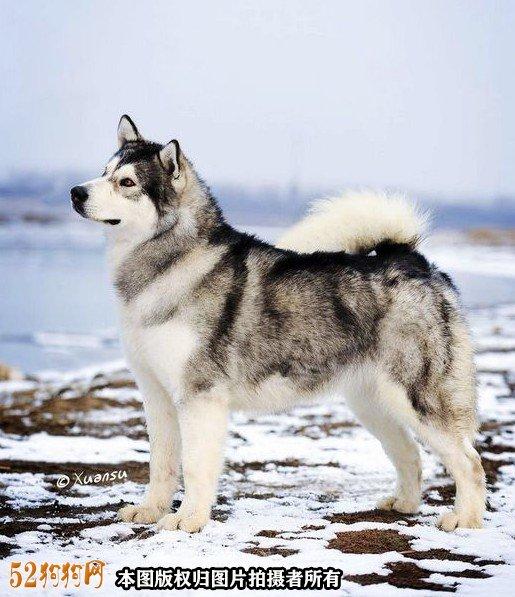 阿拉斯加狗图片7