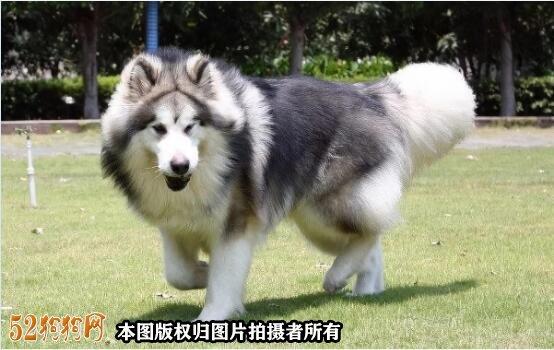 阿拉斯加狗图片8