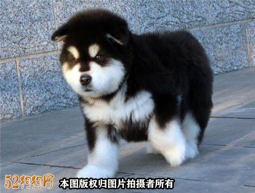 阿拉斯加狗图片9