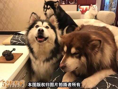 阿拉斯加狗图片10