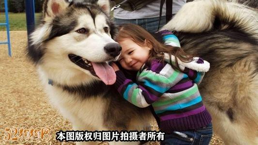阿拉斯加狗图片11