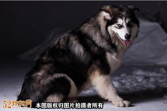 阿拉斯加狗图片12
