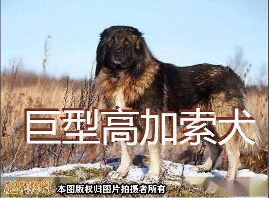巨型高加索犬图1
