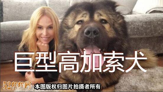 巨型高加索犬图片1