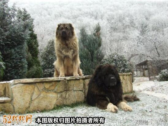 巨型高加索犬图片3