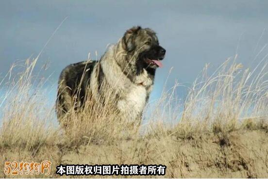 巨型高加索犬图片4