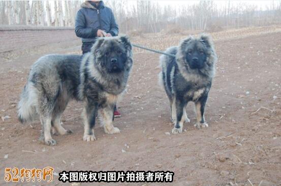 巨型高加索犬图片5