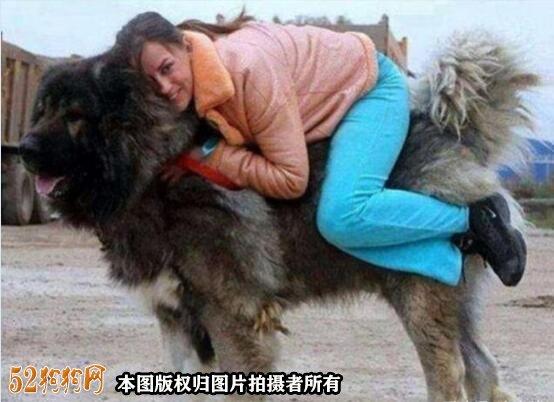 巨型高加索犬图片6