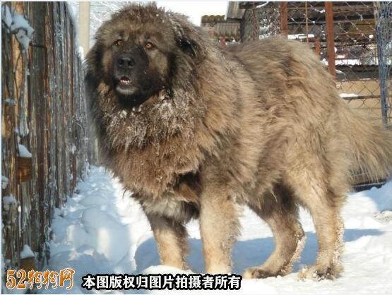 巨型高加索犬图片8