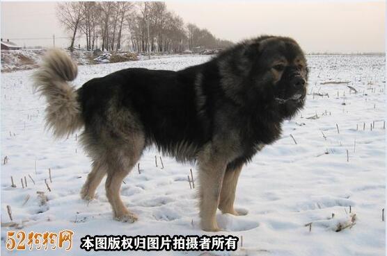 巨型高加索犬图片9