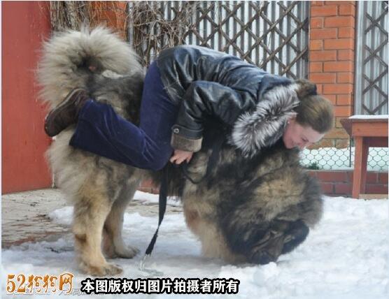 巨型高加索犬图片10