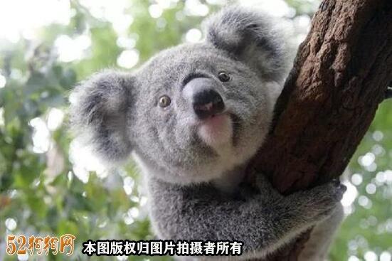 澳大利亚宠物狗成隐患!可爱的考拉遭到攻击严重!