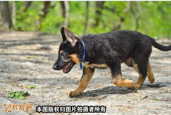 德国牧羊犬小时候图10