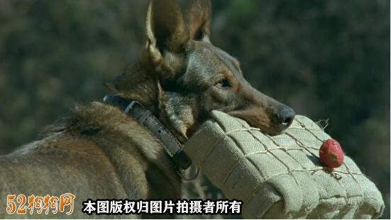 德国牧羊犬电影2