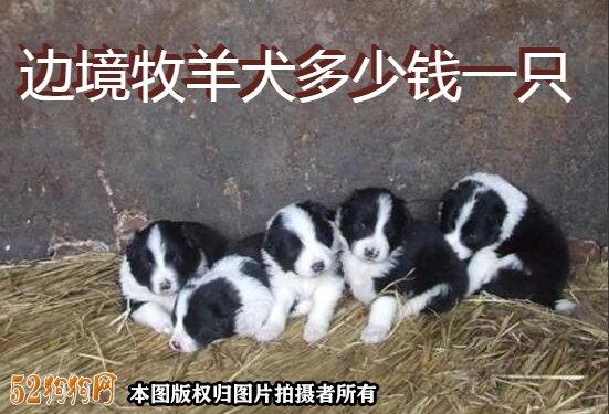 边境牧羊犬多少钱一只图1