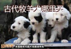 古代牧羊犬哪里买?