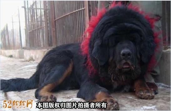 赤古藏獒图片