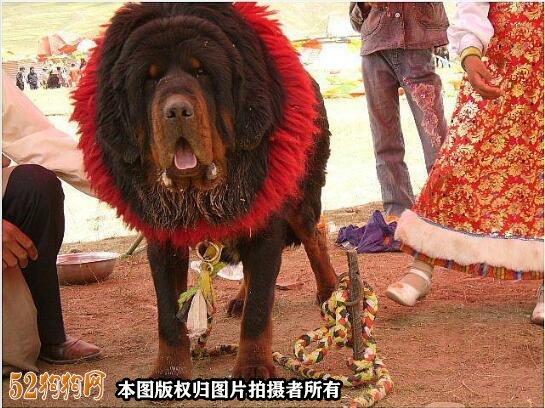 赤古藏獒图片2