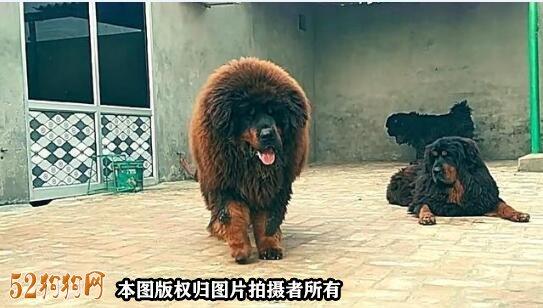 赤古藏獒图片3