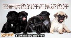 黑色巴哥犬、巴哥黑色的好还是灰色好?