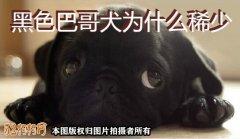 黑色巴哥犬、黑色巴哥犬为什么稀少?