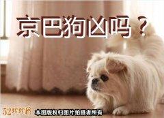 京巴狗凶吗?京巴狗高贵的气质、护主个性不容侵犯!
