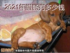 腊肠犬出售、2021年腊肠狗多少钱?