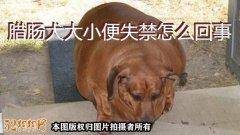腊肠犬大小便、腊肠犬大小便失禁怎么回事?