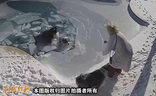 美国宠物狗不识雪误入结冰游泳池!主人立刻跳入救狗!