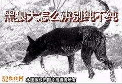 黑狼犬怎么辨别纯不纯?