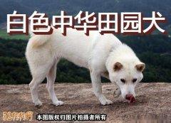 白色中华田园犬、白色中华田园犬图片价格?