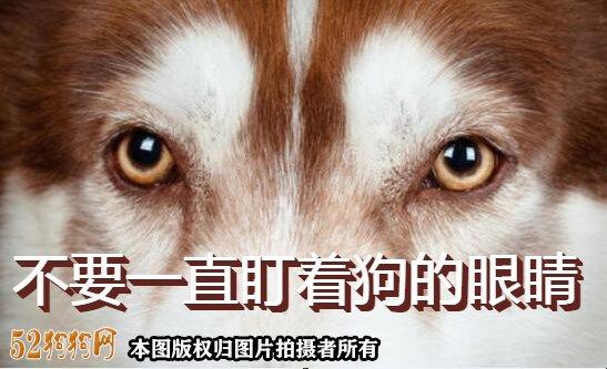 不要一直盯着狗的眼睛